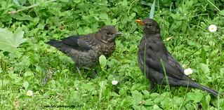 Amsel (Turdus merula) / Blackbird