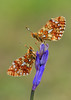 Pearl-bordered Fritillary (Boloria euphrosyne). (Bob Eade) Tags: pearlborderedfritillary boloriaeuphrosyne butterflies butterfly fritillary abbottswood eastsussex sussex woodland wildlife nature nikon macro bluebell spring