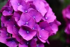 DPP_2844 (okiee8125) Tags: あじさい アジサイ 紫陽花 hydrangea 花 flower 紫 purple