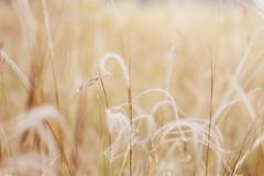 Fluffy grass (marcmyr) Tags: nikon d5200 nikkor 50mm f18 bokeh dof depth field nature natur willow gras weide soft weich warm light licht ngc
