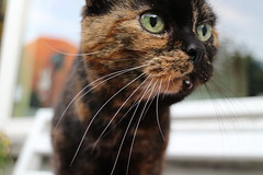 Seeing something in the distance... (aoife.sc) Tags: orange brown yelloweyes bigeyes eyes lovely cute meow miauw poes katten kat cats cat