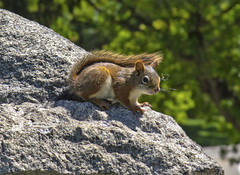 Rocky the Squirrel. (macnetdaemon) Tags: squirrel toronto red rock boket