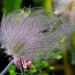 Prairie-smoke, Old Man's Whiskers Seed Heads