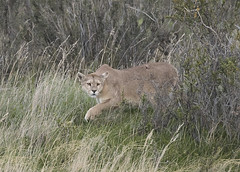 Puma in Chile. (richard.mcmanus.) Tags: chile southamerica torresdelpaine puma animal mcmanus wildlife gettyimages
