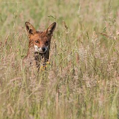 Fox in a field (kimbenson45) Tags: animal brown differentialfocus female field fox grasses green meadow nature outdoors shallowdepthoffield wildlife