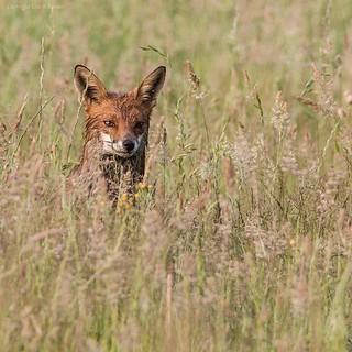 Fox in a field