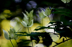 flower 1216 (kaifudo) Tags: sapporo hokkaido japan nikon d810 sigma50mmf14art sigma 50mm benthamidiajaponica flower 北海道 札幌 北大植物園 ヤマボウシ