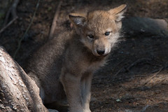 Gray Wolf Pup (NicoleW0000) Tags: gray wolf animal predator carnivor montebello quebec parc omega cub pack wolves canis lupus grey