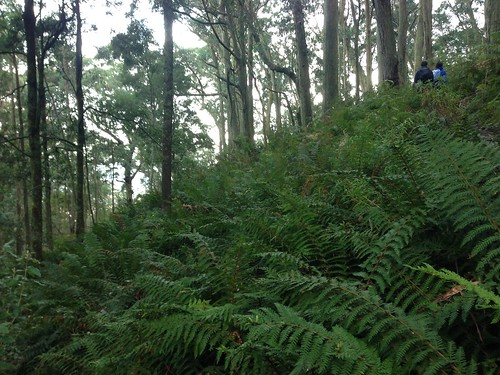 Ferns on Mount Macedon