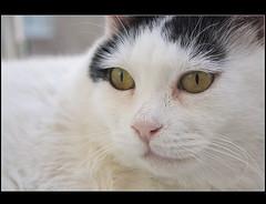 Happy Sunday (sevgi_durmaz) Tags: pamuk cat animal pet portrait adorable ilovecats lovely beautifulcats 1001nights 1001nightsmagiccity