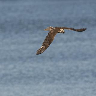 Lanner Falcon flight