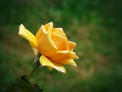Yellow Beauty (R_Ivanova) Tags: nature flower flowers rose plant garden outdoor summer colors color yellow green sony rivanova риванова роза цветя природа лято