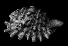 Multi Toed Sea Shell (Bill Gracey 21 Million Views) Tags: toes seashell shell sidelighting blackandwhite noiretblanc blancoynegro nature naturalbeauty shapes shadows shadowshapes offcameraflash perspex blackbackground homestudio yongnuorf603n yongnuo softbox filllight