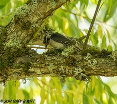 Downy Woodpecker (orencobirder) Tags: birds largebirds flickrexport woodpeckers