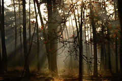 Heavenly sunlight coming through trees in forest (Johan Ferret) Tags: atmospheric background beams beauty dreamy environment ethereal forest gloomy landscape light mist morning nature nobody plantation rays rural sunlight sunshine trees trunks wilderness woodland woods