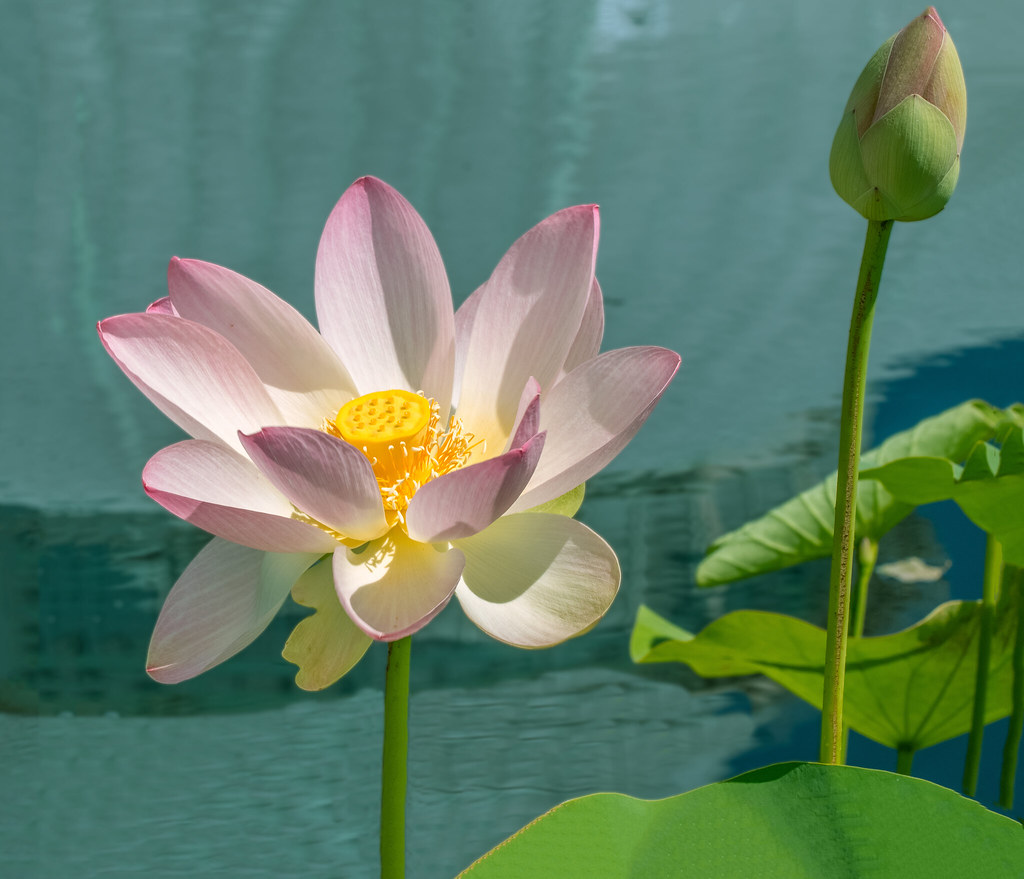 The Worlds Best Photos Of Lotus And Nybg Flickr Hive Mind