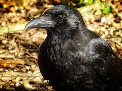 Kenwood Spring 2017 - 07 (garryknight) Tags: corvus cybershot dschx60v hampsteadheath kenwood lightroom london ononephoto10 sony bird corvid crow
