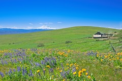 Dalles Mountain Ranch 1051 C (jim.choate59) Tags: dallesmountainranch columbiahillsstatepark mounthood washington historic wildflowers lupine balsamroot field green spring scenic jchoate mountain oregon on1pics sky grass d610