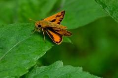 Fiery Skipper (deanrr) Tags: fieryskipper butterfly leaf greenbackground morgancountyalabama alabama 2017 summer summer2017 nature outdoor insect