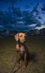 New beginnings. (ASEA Photography) Tags: rhodesianridgeback rescuedogs mydog dogs