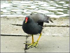 The Common Moorhen .. (** Janets Photos **) Tags: uk publicparks ponds lakes wetlands waterfowl moorhens waterhens