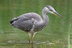 Heron (Shane Jones) Tags: heron bird wader predator wildlife nature nikon d500 200400vr