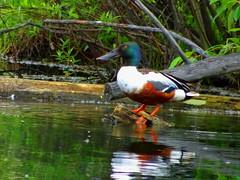 Northern Shoveler (Anas clypeata) (peggyhr) Tags: peggyhr shoveler duck reflections lake trees dsc00309a bluebirdestates alberta canada carolinasfarmfriends level1peaceawards