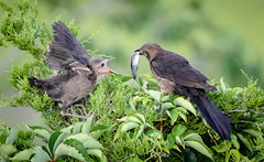 Fish for Breakfast (tresed47) Tags: 2017 201707jul 20170703newjerseybirds birds boattailedgrackle canon7d content folder grackle newjersey oceancity peterscamera petersphotos places takenby us