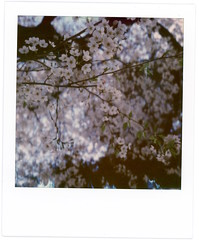 Sakura pola (Alice Korotaeva) Tags: asia sakura hanami blossom flowers spring pink tree travel tokyo nature japan polaroid polaroidcolor polaroidfilm polaroidphotography polaroidslr680 filmphotography film analog analugue analigvibes analoglife analogphotography antique retro grain onbooooooom пленка ishootfilm shootfilm filmisnotdead