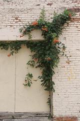 001 (jHc__johart) Tags: oklahoma vine building wall door trumpetflower floweringvine