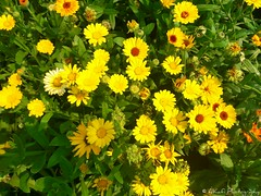 Spring Is Coming (AL Kafi) Tags: spring springseason flowers springflowers yellow nature blossoms