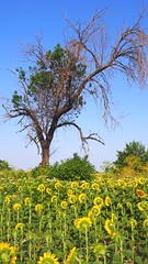 Sunny audience (borisvasilev) Tags: sunflowers sunflower yellow tree green travelolympus travel field nature bulgaria europe borissnima