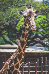 Giraffe in Honolulu Zoo (Kou Thao) Tags: animals nature wildlife hawaii scenery photograhy kokohead adventure vintage vibes tropical airplane sky sunset clouds traveler luau horse jungle
