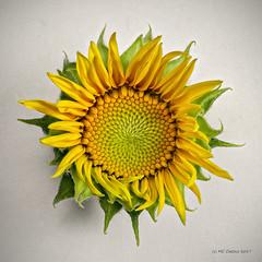 Sunflower II (Mark Cassino) Tags: botanical sun flowerbud flower pentaxk1 dfa100mmf28macro pixelshiftmode studiomacro zerenestacker dofstacking focusstacking fibonacci