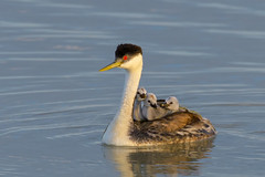 Mom and Her Babies (Amy Hudechek Photography) Tags: western grebes chicks baby spring riding back amyhudechek