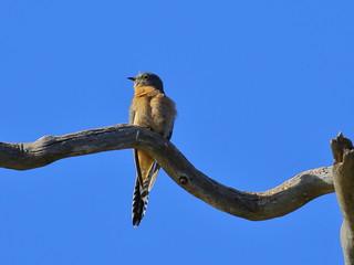 Fan-tailed Cuckoo  Cacomantis flabelliformis