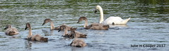 Happy swan family on the river (juliehcooper) Tags: swan cygnets river birds water