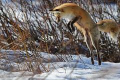 Jumping Red Fox - 5758b+ (teagden) Tags: jumping red fox redfox hunting huntingfox snow spring jenniferhall jenhall jenhallphotography jenhallwildlifephotography wildlifephotography wildlife nature naturephotography wyoming wyomingwildlife photography nikon wild