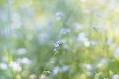 Forget-me-not (marcmyr) Tags: flower blume vergissmeinnicht bokeh nikon d5200 nikkor 50mm f18 dof field depth light licht sun sonne garden nature natur