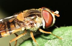 Hoverfly (Episyrphus balteatus) (superdove) Tags: hoverfly 105mmf28gvrmicro episyrphusbalteatus