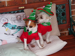 Barney & Muttley. Christmas 2013. (Muttley 05) Tags: perros dogs muttley christmas costumes honden chiens hunde σκύλοι कुत्तेकी kutyák 犬 cani 小狗 cães собаки
