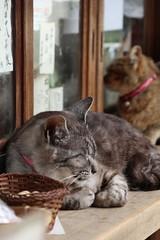 Helpful Receptionists :) / Kyoto's Famous Cats (maco-nonch★R) Tags: famouscat kyoto 猫 ネコ cat kioto famous umenomiyataisha umenomiya 嵐山 arashiyama 梅宮大社 kyotocat 受付係 受付 神社 shirine animal sleepy manual allmanual canon eosm5 efm18150mmf3563isstm