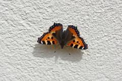Kleiner Fuchs (Aah-Yeah) Tags: kleiner fuchs aglais urticae small tortoiseshell schmetterling butterfly tagfalter marquartstein achental chiemgau bayern