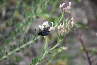 Zygaena lavandulae sobre Dorycnium hirsutum