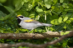 Golden-winged Warbler (Vermivora chrysoptera), Campbell County, Tennessee (kmalone98) Tags: wildlife goldenwingedwarbler newworldwarblers parulidae vermivorachrysoptera aves