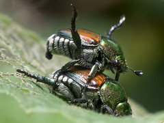 Japanese beetles (watts_photos) Tags: japanese beetle beetles insect insects macro bug bugs green brown black plant pest pests japan garden 100mm mating