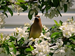 Ceder Waxwing in Apple Blossoms (clickclique) Tags: tree appletree flowers blossoms white bird spring waxwing cederwaxwing eating petals inexplore l1gestalt