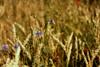 Ein Teller Buntes (Mo Vidal) Tags: wiese blumenwiese kornblumen klatschmohn weizen weizenfeld brandenburg bunt drausen