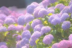 Seasonal color : June (Colorful-wind) Tags: 2017 6月 ajisai color colorful colors flower fujifilm fukuoka hydrangea japan june light lightandshadow plant purple shadow xt1 あじさい 梅雨 紫陽花