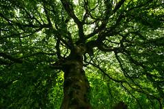 Big Weeping Willow (soniabaumel) Tags: nikon trauerweide weeping willow big spring frühling gros